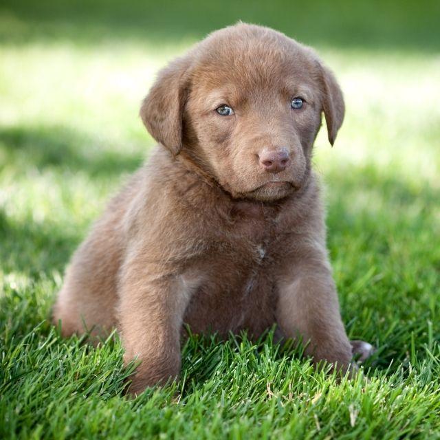 Chesapeake köpek ırkı