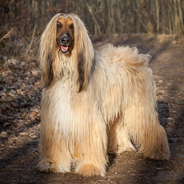 afgan tazı köpek ırkı
