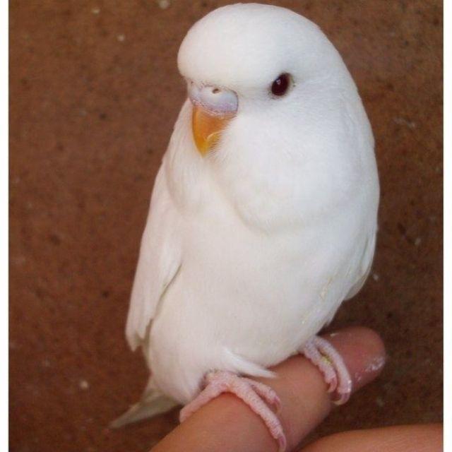 albinomuhabbetkusu