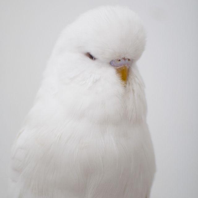 albinomuhabbetkusu2