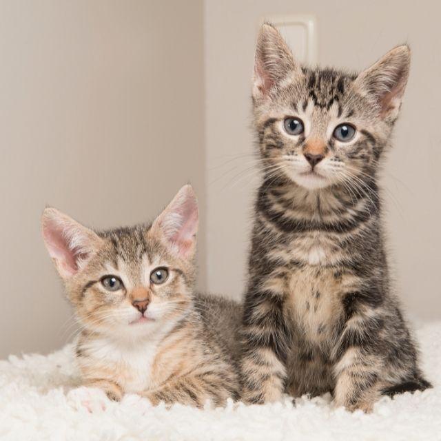 dişi ve erkek kedi