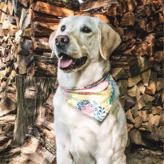 goldador köpek cinsi