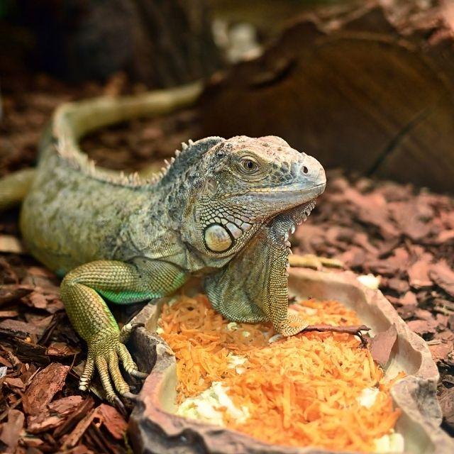 iguana türleri