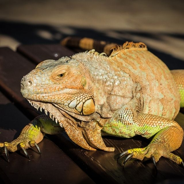 evcil iguanalar