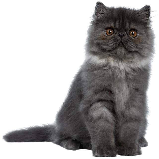 keşmir kedisi