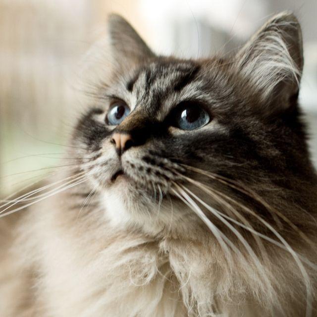 kedi bıyığı ne işe yarar