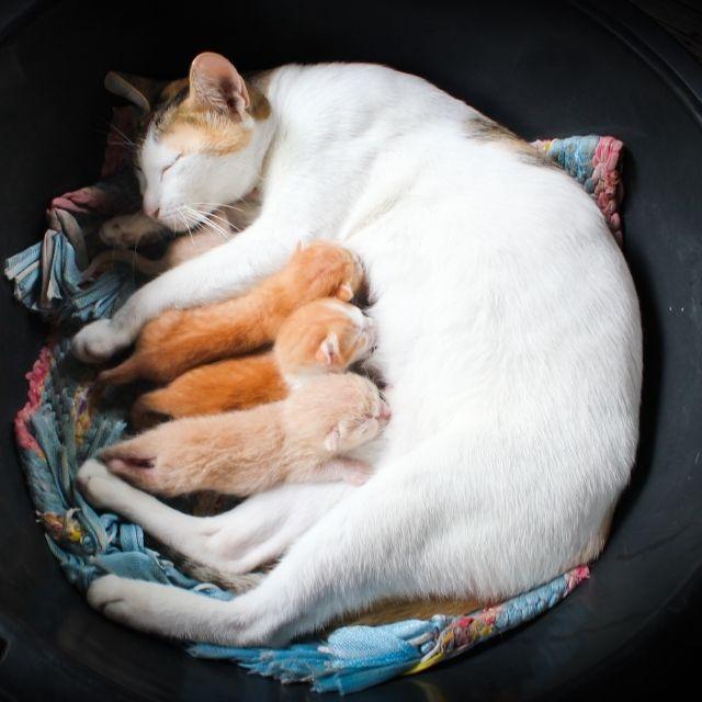 kedilerde hamilelik belirtileri