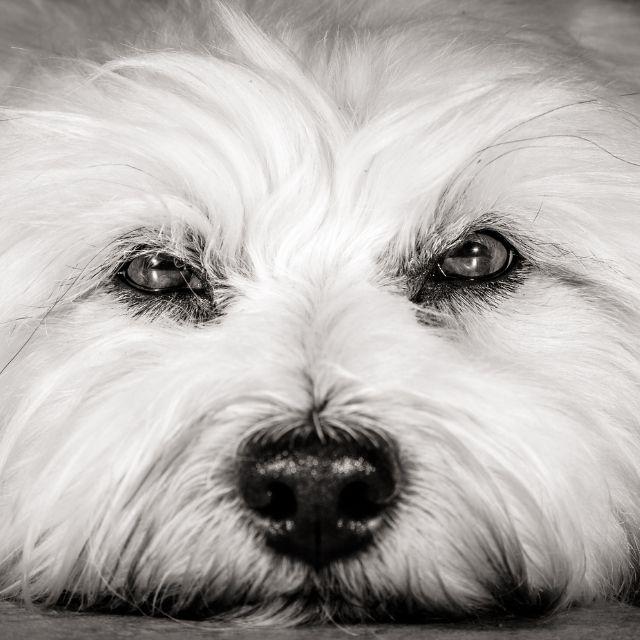 köpek görüşü