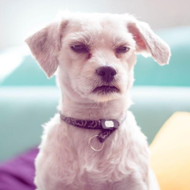 köpeklerde davranış bozukluğu