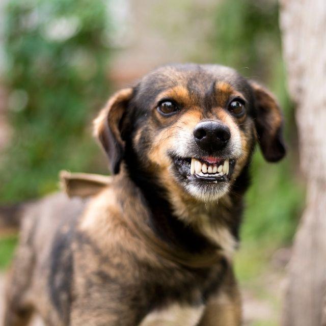 köpeklerde davranış bozukluğu belirtileri