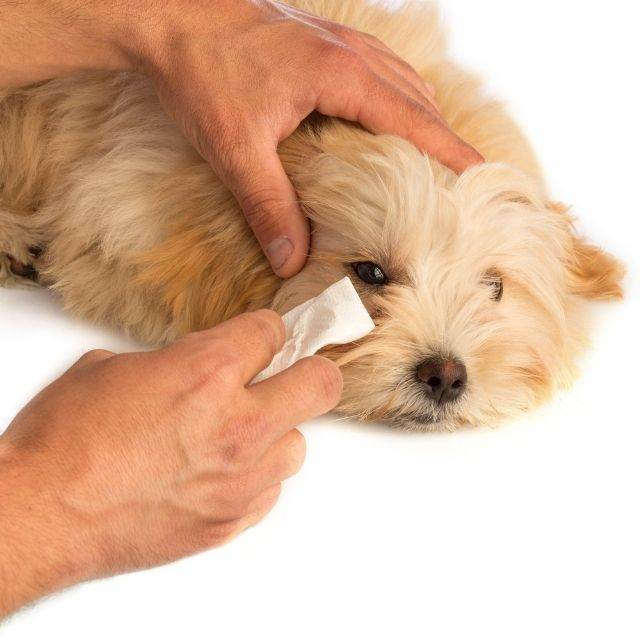 köpeklerde göz temizliği