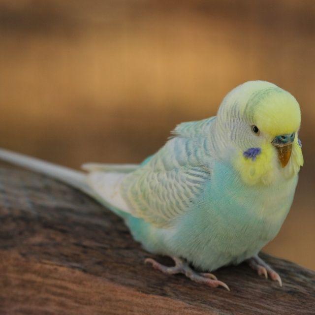 muhabbet kuşlarında kusma