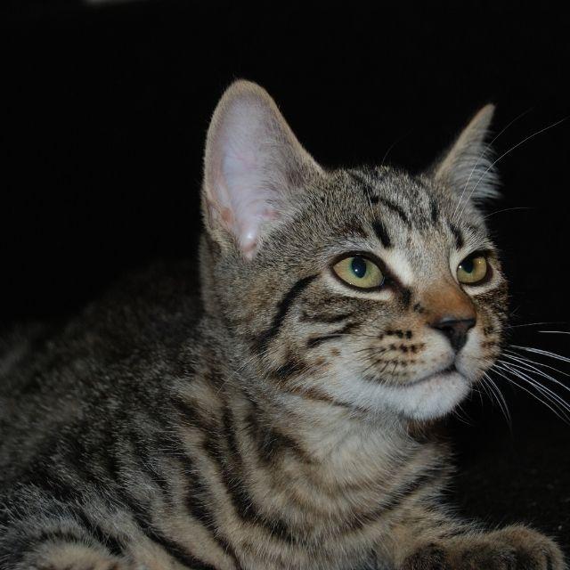 munchkin kedisi özellikleri