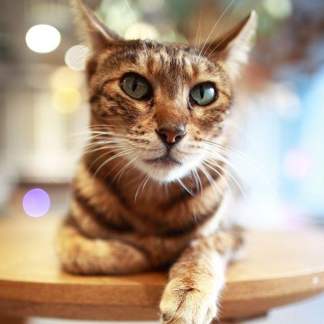 ocicat-kedi