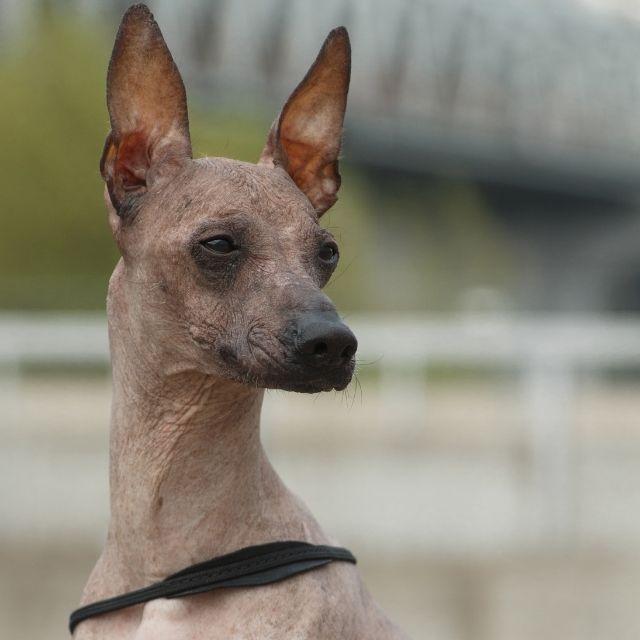 peru inka köpeği