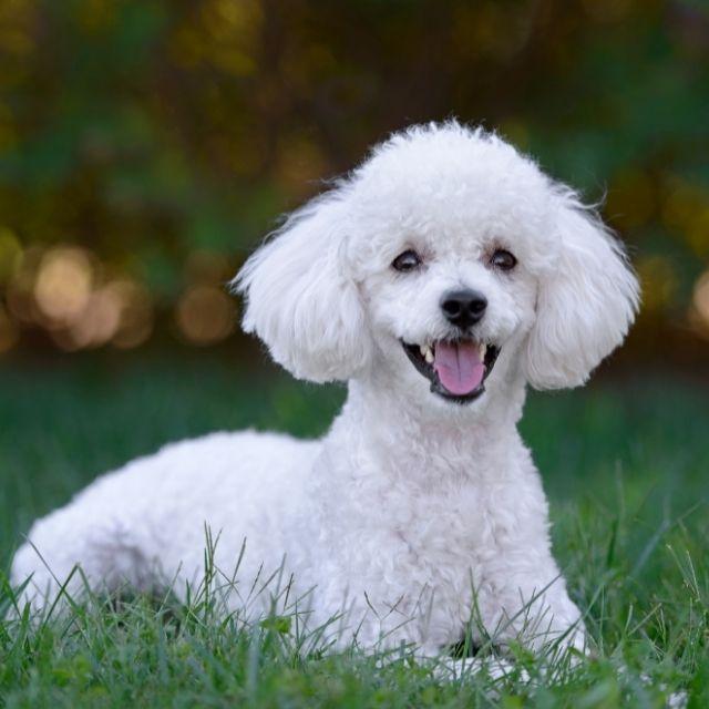 kaniş köpeği