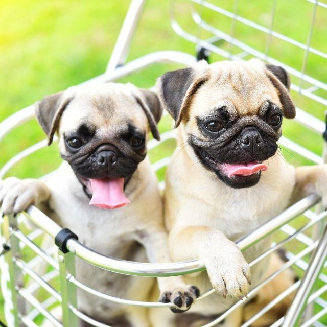 dünyanın en küçük köpekleri