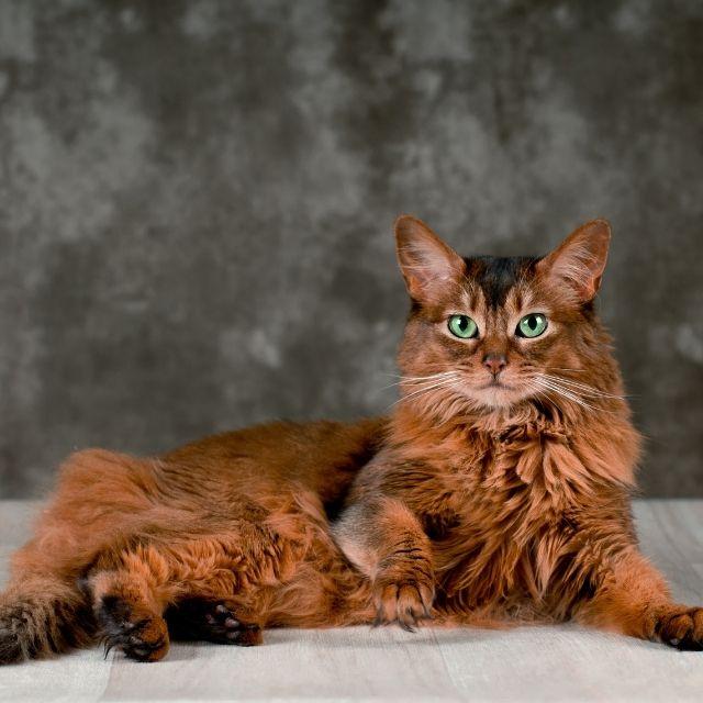 somali kedisi bakımı