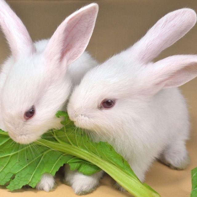 tavşanlara zararlı gıdalar