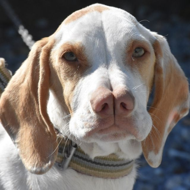 çatal burun köpeği